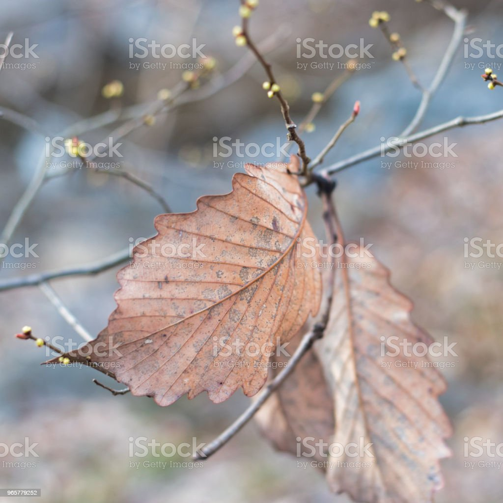 A dead brown leaf about to fall in Autumn - Royalty-free Backgrounds Stock Photo