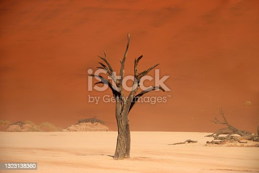 istock Dead camelthorn tree standing on salt-clay pan of deadvlei inside the Namib-Naukluft national park. Single tree with red sand dune in the background. 1323138360