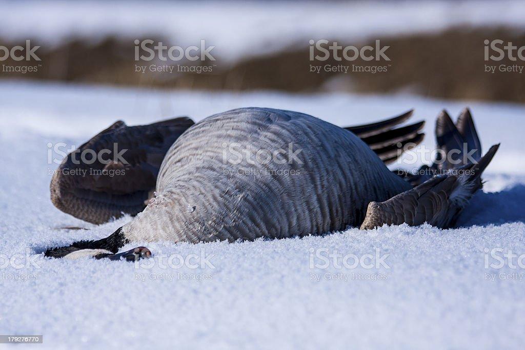 Dead Canada Goose in the snow stock photo