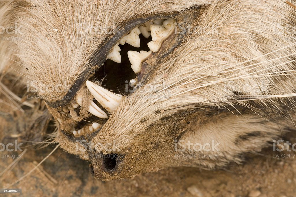 Dead Cat Close Up royalty-free stock photo