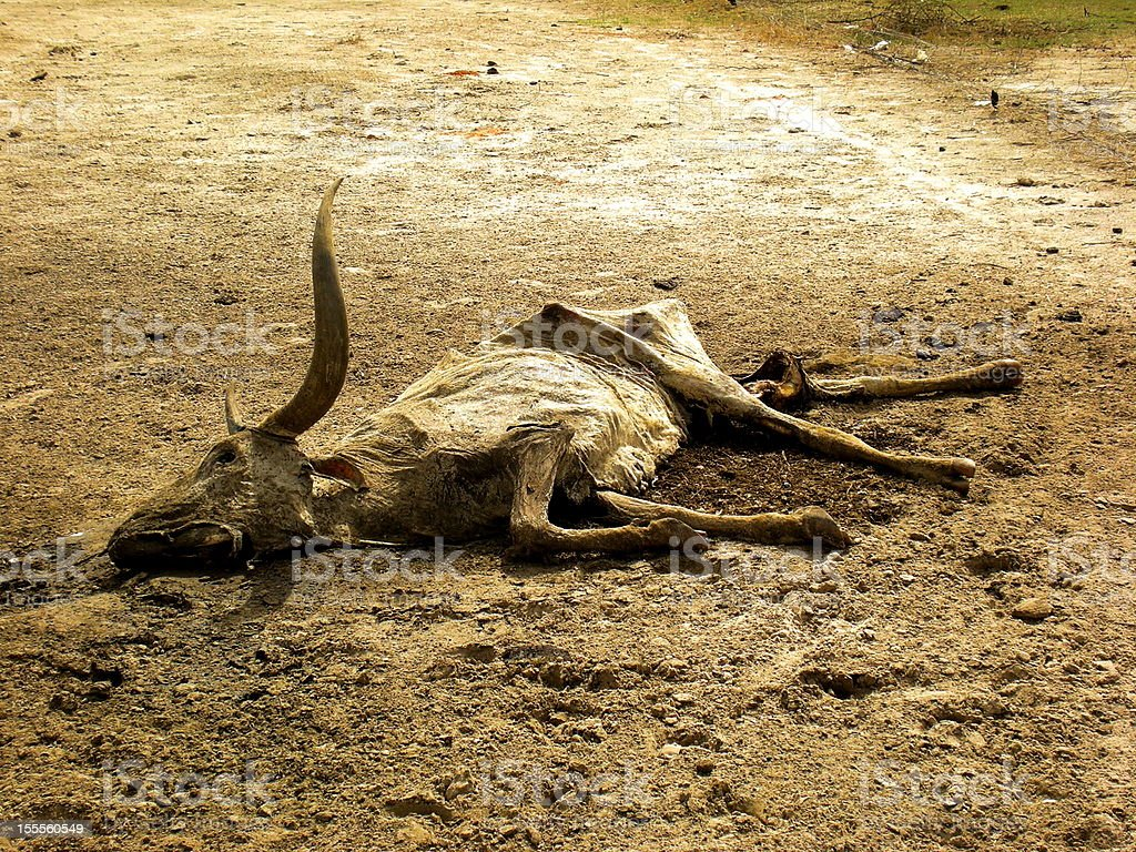 Dead cattle in African Drought stock photo