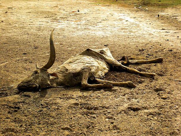 Dead cattle in African Drought foto