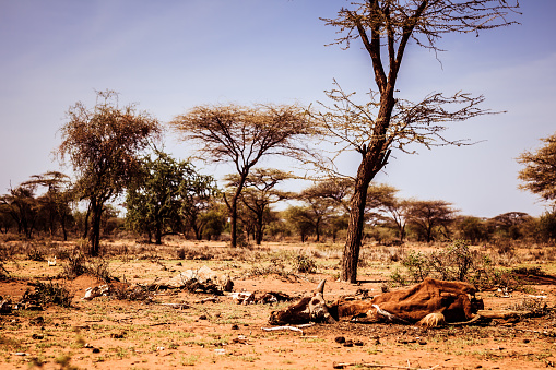 Drought and famine - dead hungry cattle on dry Masai land in Kenya
