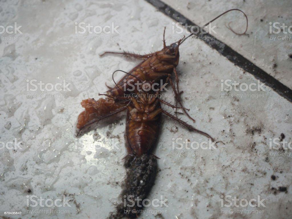 Blatte De Cuisine Photo photo libre de droit de blatte morte sur Étage banque d
