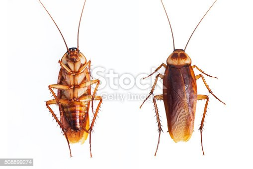 istock Dead cockroaches on white background 508899274