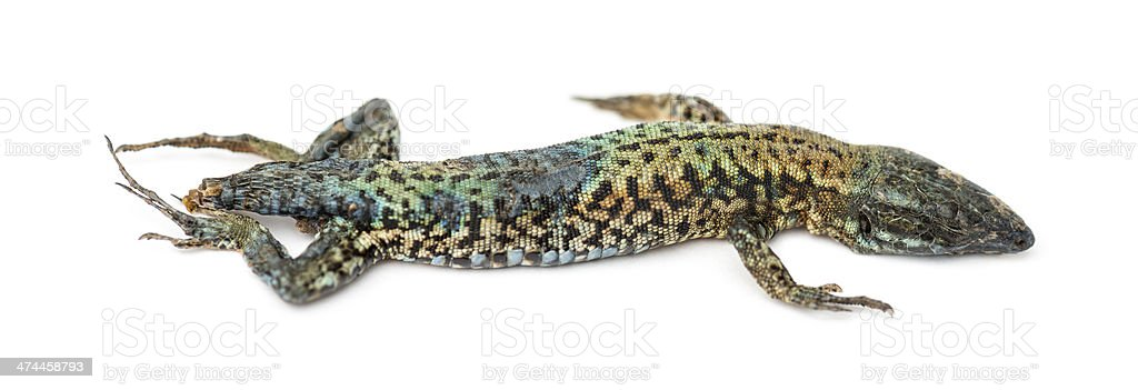Dead Common wall lizard in state of decomposition, Podarcis muralis stock photo
