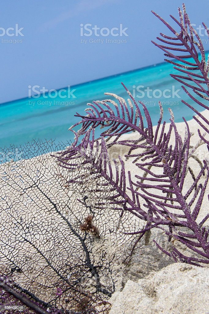 Dead corals laying on paradisiac Cuban sandy beach stock photo
