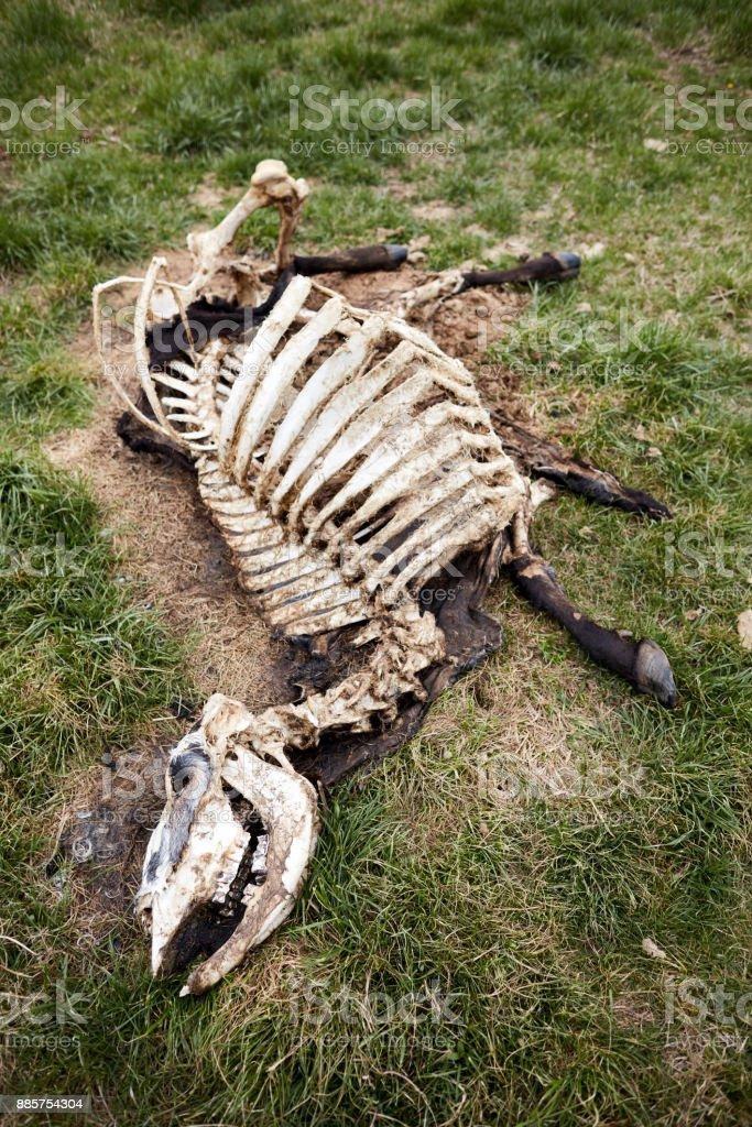 Vaca muerta en descomposición en pasto - foto de stock