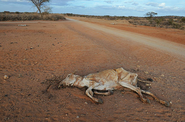 Dead cow during a severe drought in Kenya, Africa stock photo
