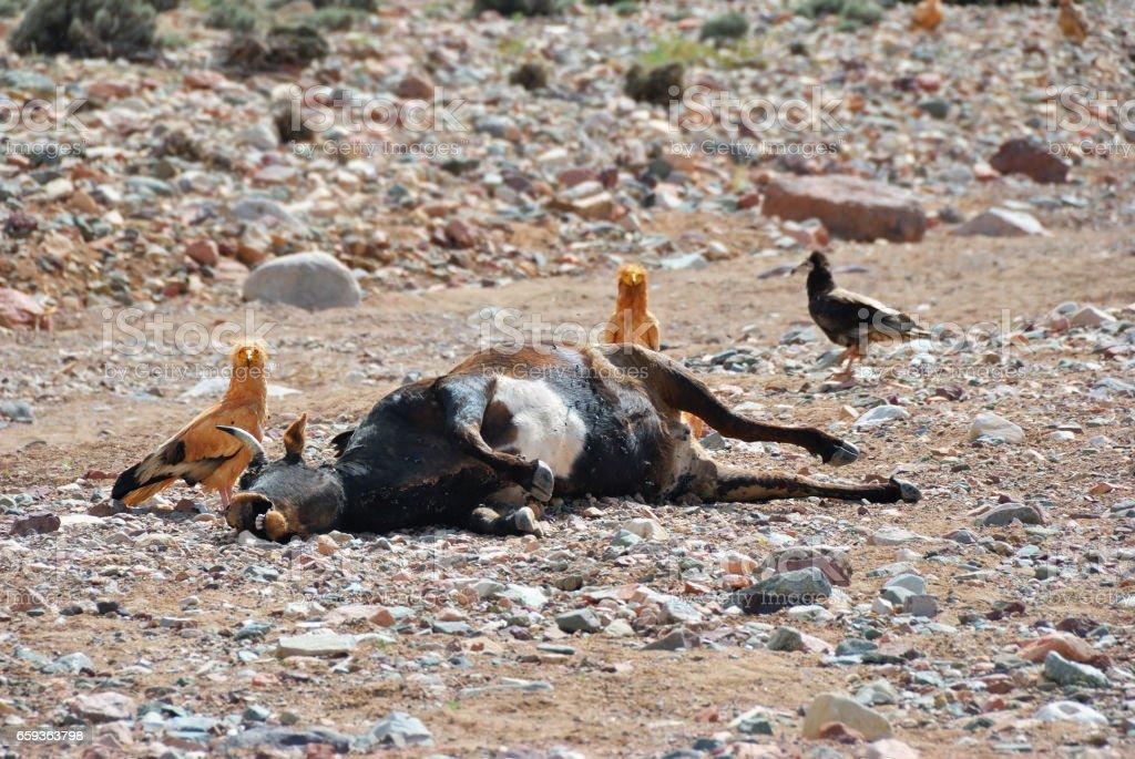 Dead cow. Murrain stock photo