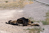 Dead cow roadkill on the side of the road (Extraterrestrial Highway open range in Nevada). Hide skin and bones on the carcass