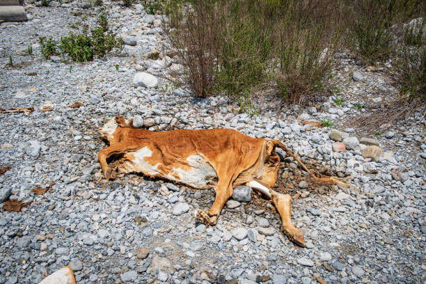 Dead cow. Weather change. A dead cow is on the side of a road . The hot weather and no food and water caused its dead. water wastage stock pictures, royalty-free photos & images