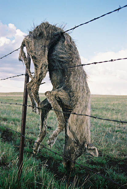 dead coyote caught on barbed wire fence - great plains stock photos and pictures