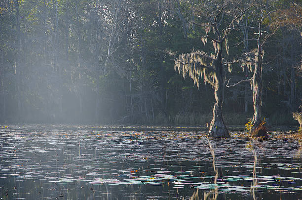 Dead Cypress with Spanish Moss in a Swamp