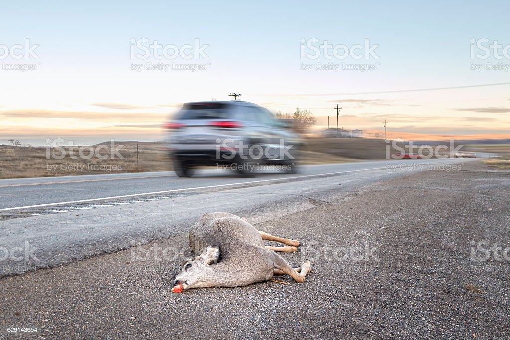 Dead deer hit by a car lying by the road, stock photo