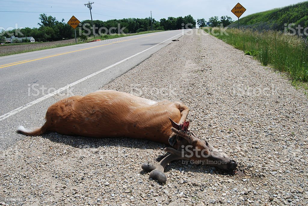 Dead Deer on Highway stock photo