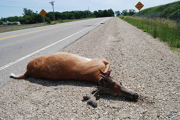 Dead Deer na Highway - foto de acervo