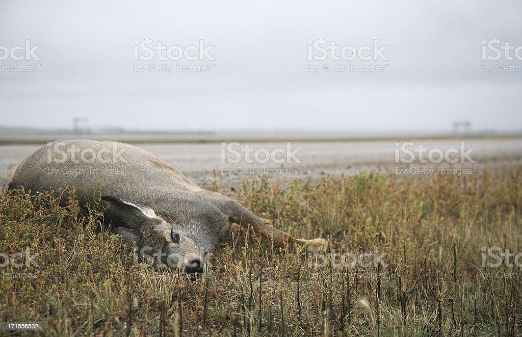 dead deer stock photo