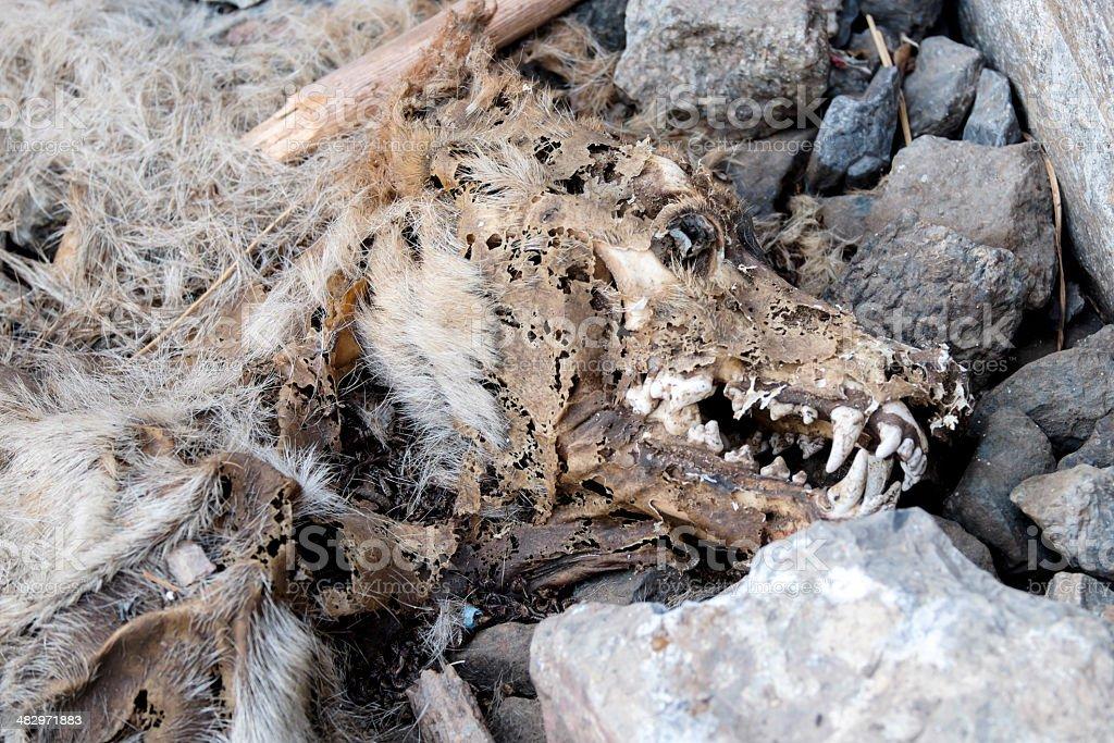 古い犬 rotten ミイラ化したのストックフォトや画像を多数ご用意 istock