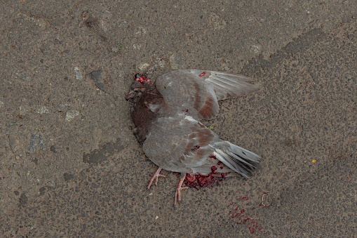 dead dove animal crushed by car on asphalt background texture surface