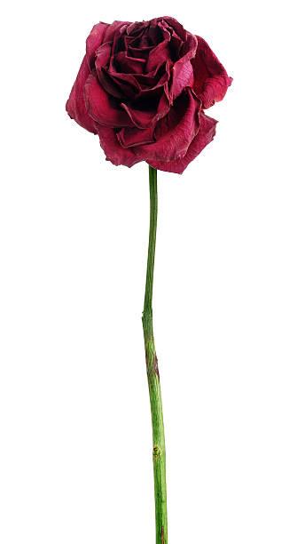 Dead dried red rose picture id482705778?b=1&k=6&m=482705778&s=612x612&w=0&h=  vbjywnm0knuge4p3dqb hybmti3luqhovaw6 ssl8=