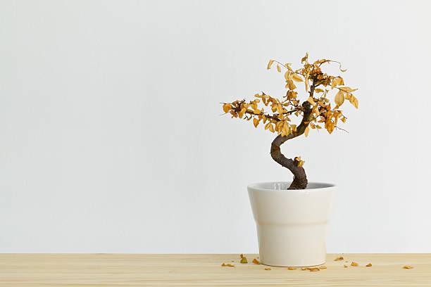 Dead dry bonsai auf Holz Regal – Foto