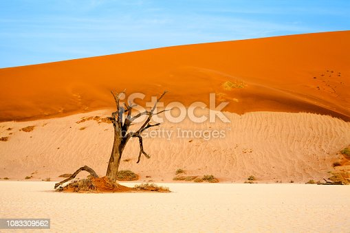 1083309578 istock photo Dead dry camel torn tree on orange sand dunes and bright blue sky background, Naukluft National Park Namib Desert, Namibia, Southern Africa 1083309562