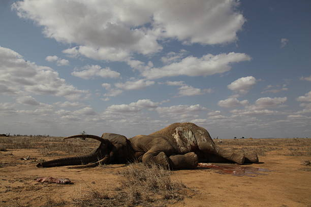 Dead Elephant Bull A large dead elephant lies on the ground tusk stock pictures, royalty-free photos & images