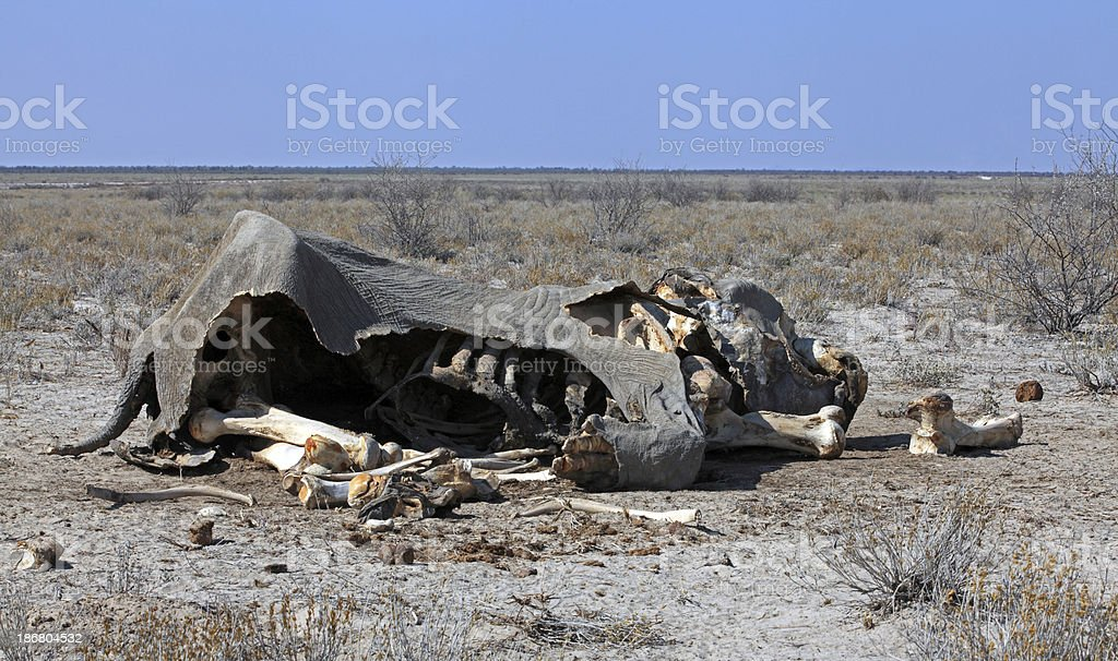 dead elephant stock photo