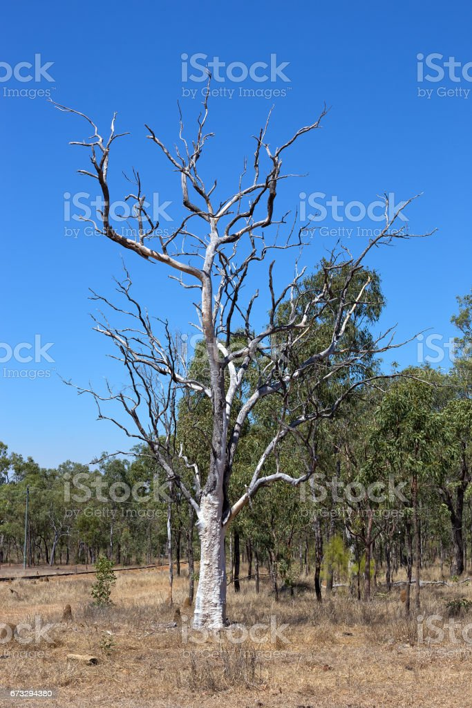 Dead Eucalyptus tree near an old railyway line in rural Queensland royalty-free stock photo