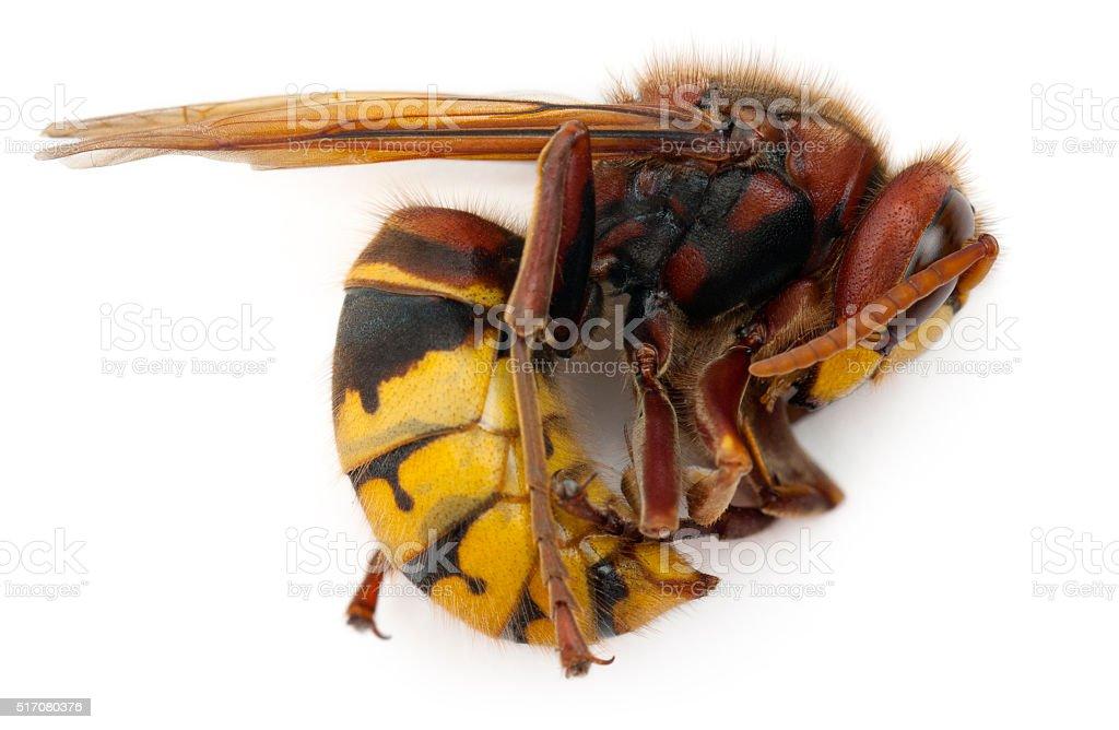 Dead European hornet, Vespa crabro, in front of white background stock photo