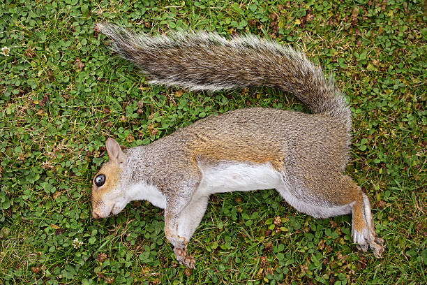 dead female squirrel on grass - squirrel stock photos and pictures