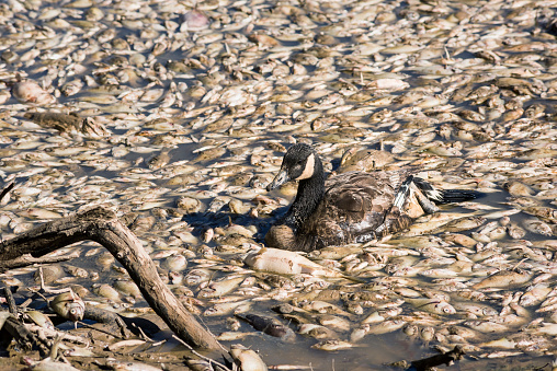 Dead fish and sick goose after lake drainage and dredging at Royal Lake Park in Fairfax, Virginia