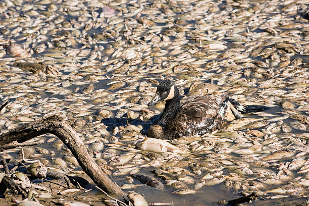 Dead fish and sick goose after lake drainage Dead fish and sick goose after lake drainage and dredging at Royal Lake Park in Fairfax, Virginia mass murder stock pictures, royalty-free photos & images