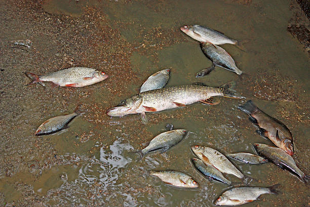 Dead fish by the river, water pollution stock photo