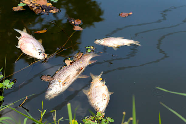 dead fish floated in  the river, water resource, water pollution dead fish floated in  the river, water resource, water pollution dead stock pictures, royalty-free photos & images
