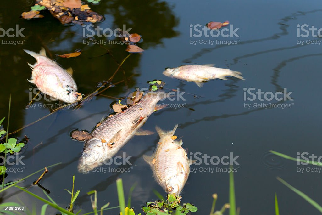 dead fish floated in  the river, water resource, water pollution stock photo