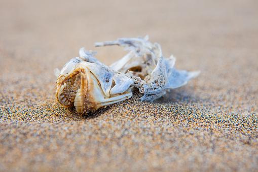 Dead fish head dry in the beach, Playa de Cofete