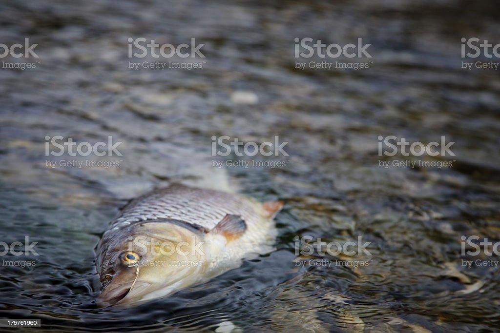 dead fish in contaminated river stock photo