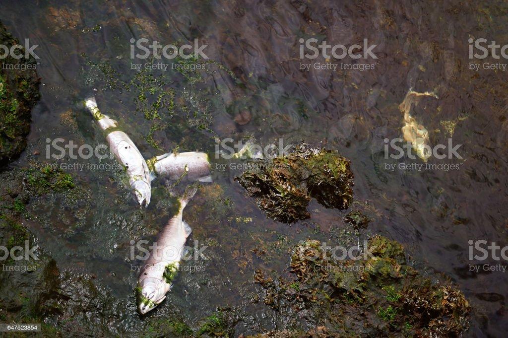 Dead fish in river foto