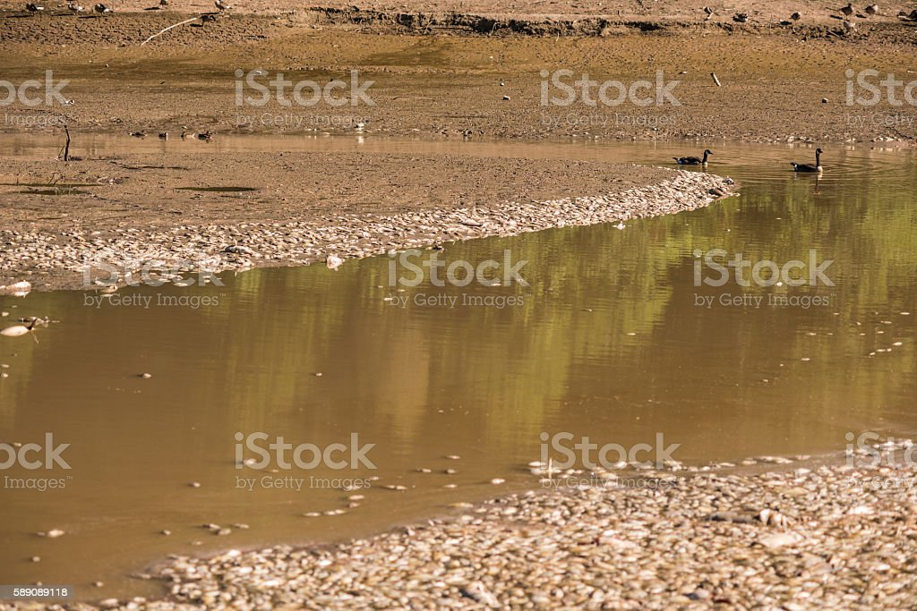 Dead fish in water with swimming geese stock photo