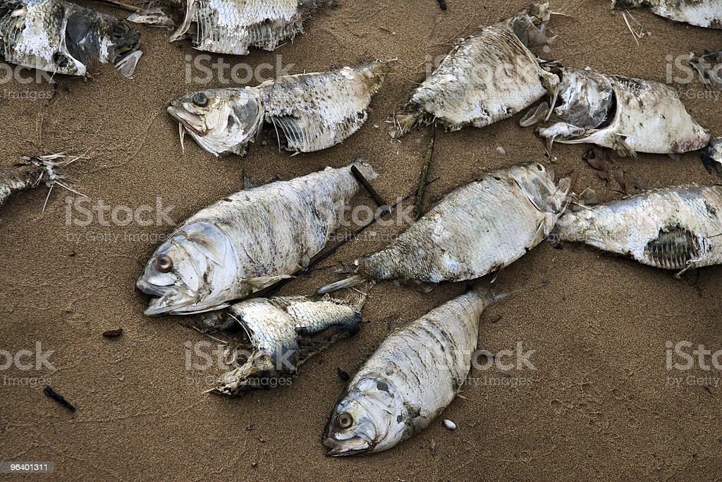 Dead fish on a beach - Royalty-free Animal Stock Photo