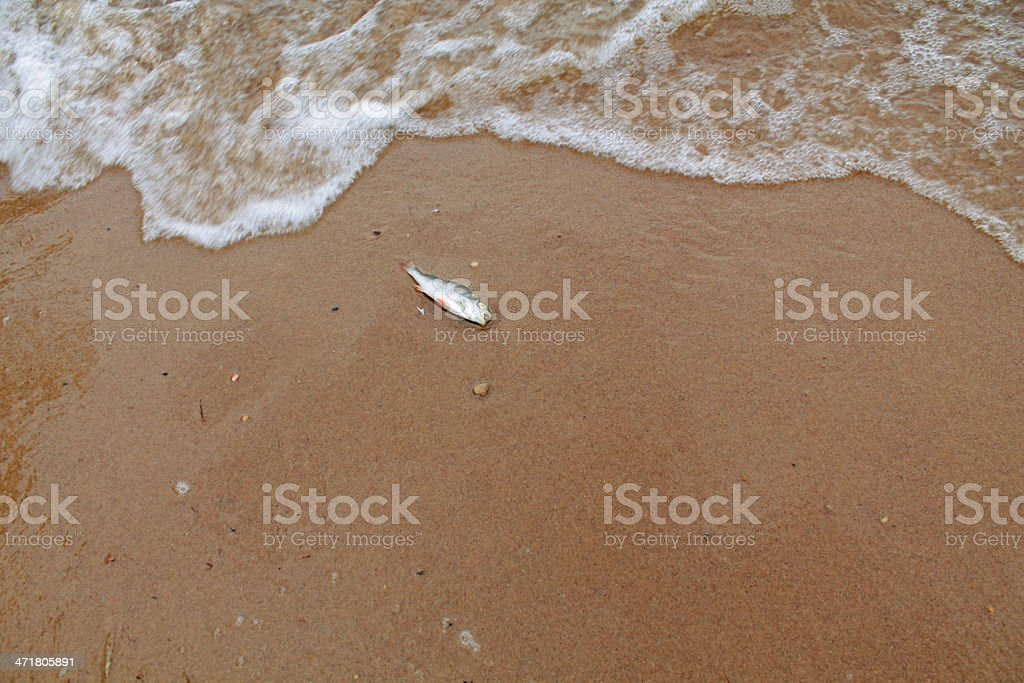 Dead fish on coast royalty-free stock photo