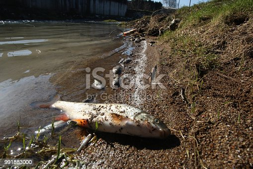 Dead Fish on River