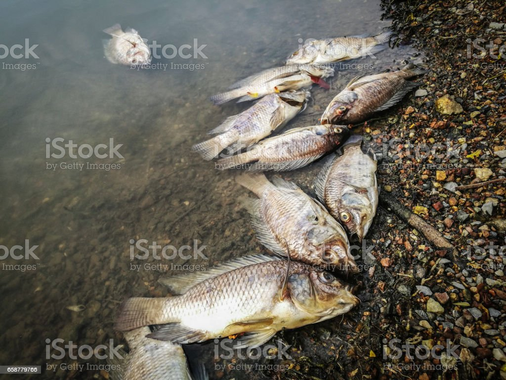 Dead fish on the river. dark water water pollution stock photo