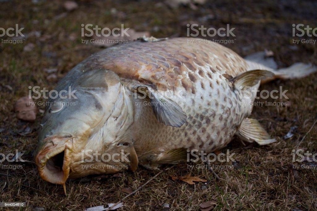 Tote Fische aus dem Wasser – Foto