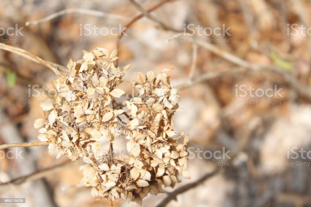 Dead Flower royalty-free stock photo
