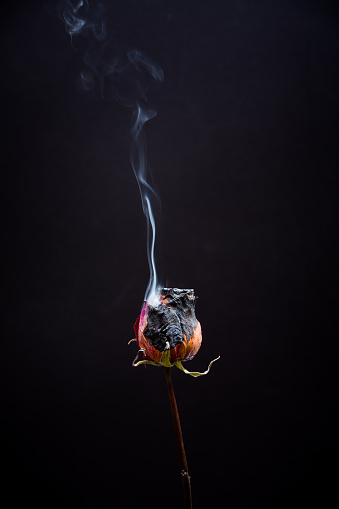 dead rose flowers dried and on fire, flaming