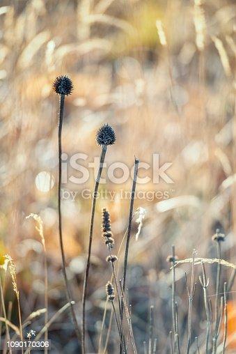 Beautiful dead plants. Winter in Swedish garden.