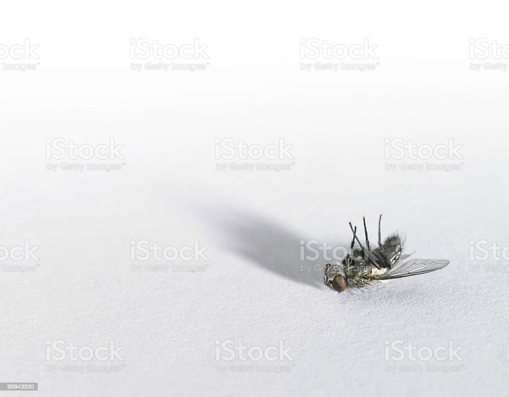 dead fly in light back royalty-free stock photo
